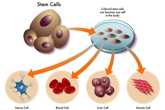 Serum tế bào gốc là gì? Cách sử dụng tế bào gốc đúng cách